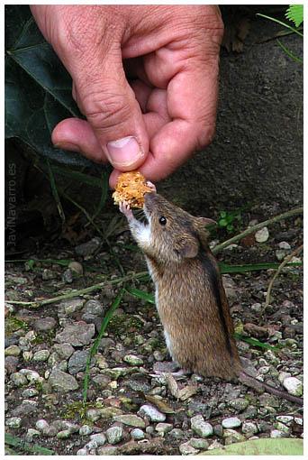 Alimentando a un ratón